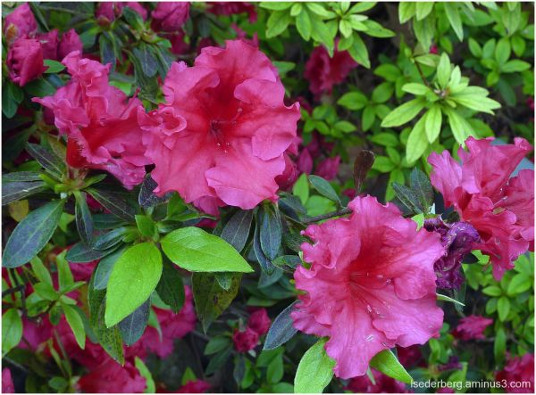 Azaleas on campus