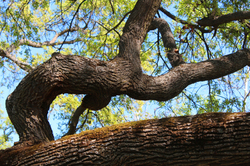Oak tree branches