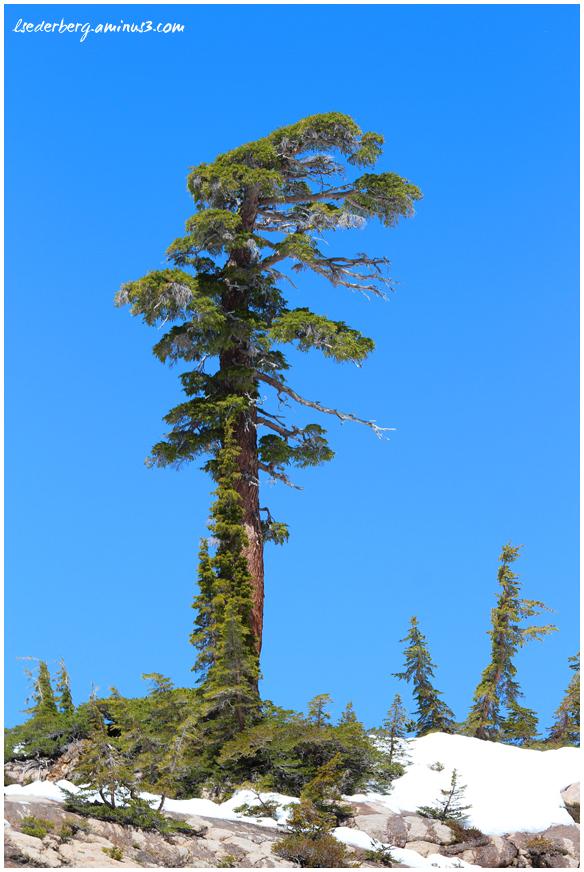 Rugged tree
