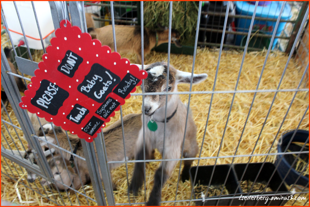 Baby Goat at the Fair