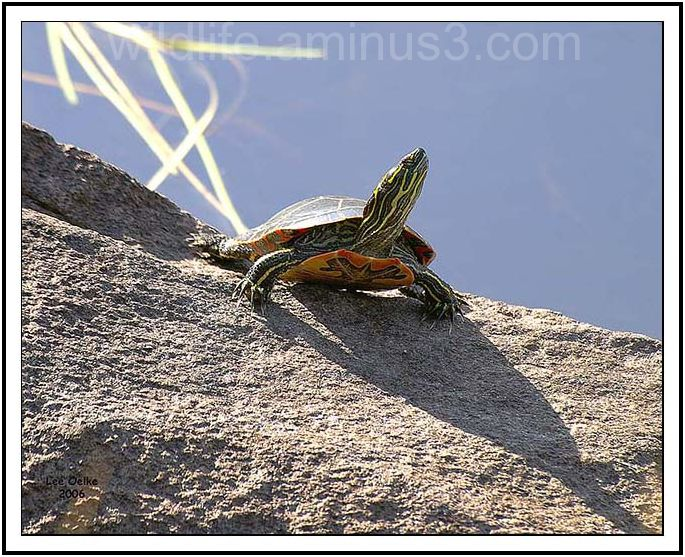 Turtle sunning itself on a warm fall day.