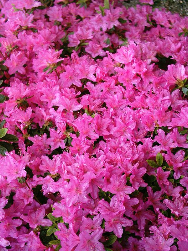 Azaleas leonardslee sussex