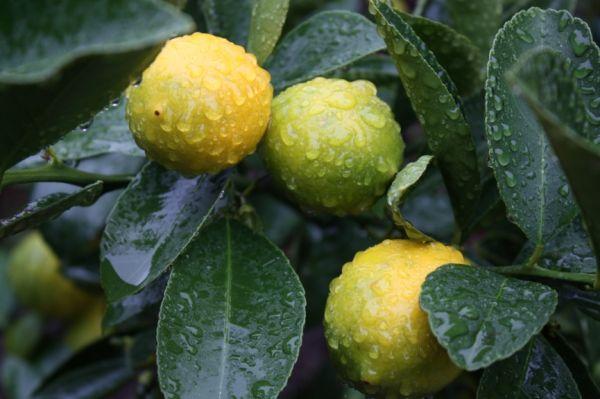 meyer lemons rain