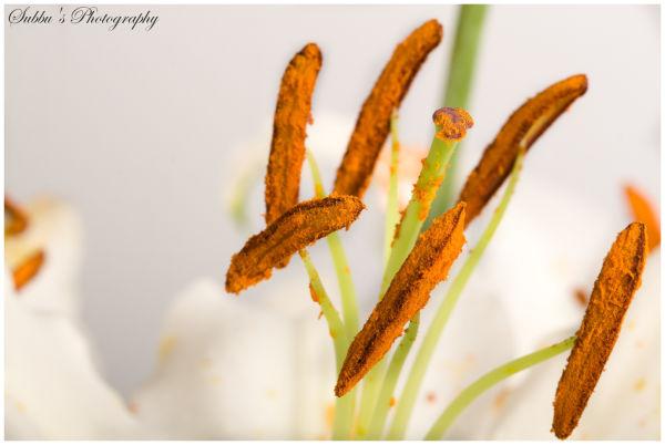 Lillies - macro