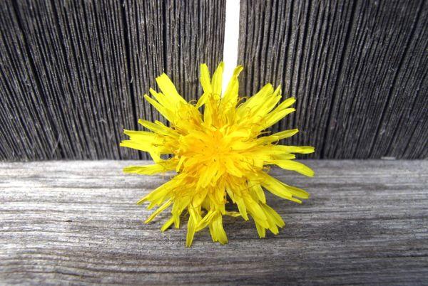 Yellow Dandylion