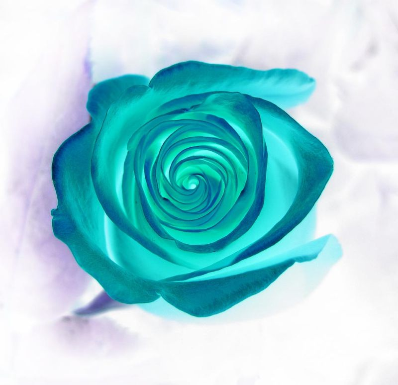 Inverted Rose