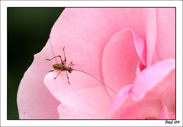 Petite sauterelle aux grandes antennes