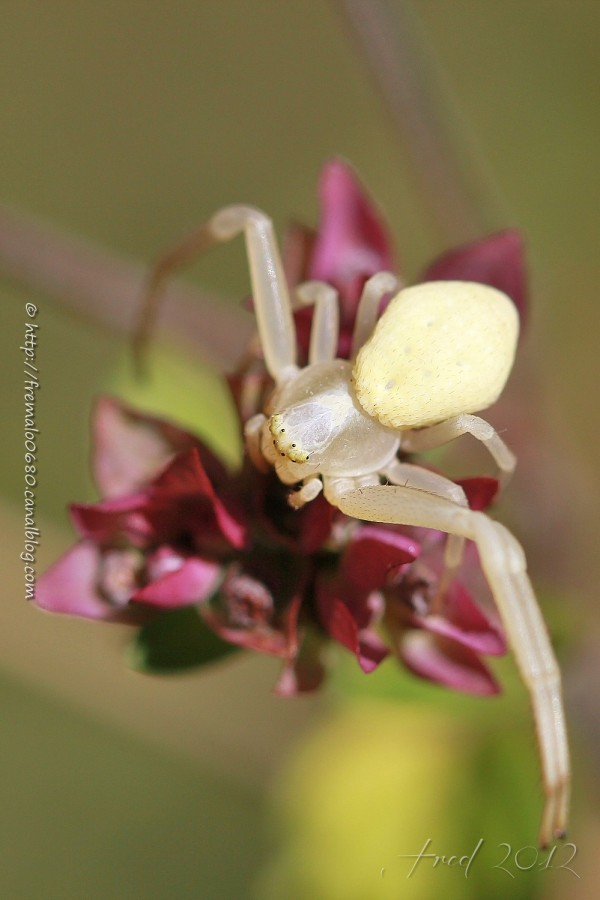 Crab-spider