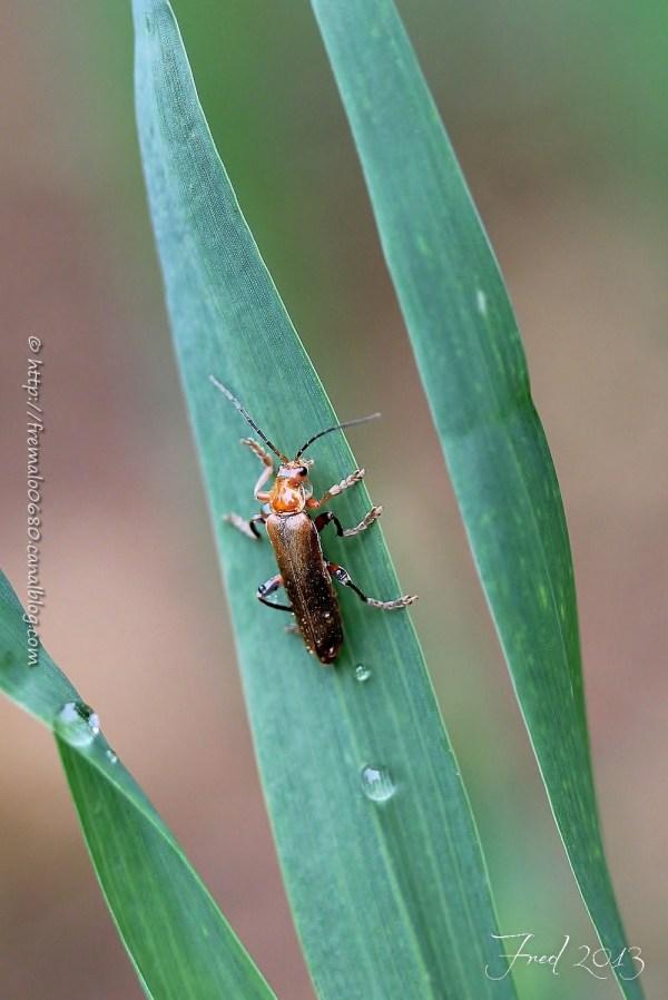 Cantharis livida téléphore insecte coléoptère