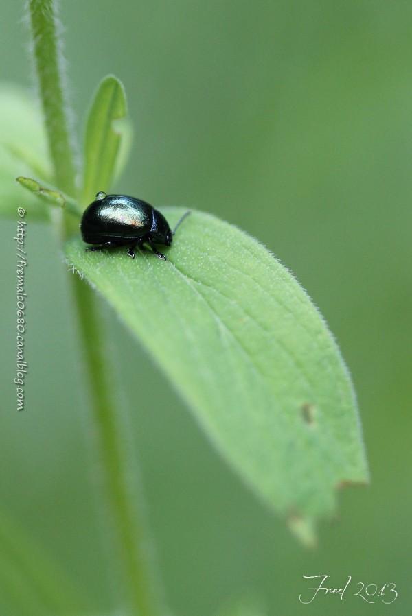 chrysomèle mint leaf beetle coléoptère insecte