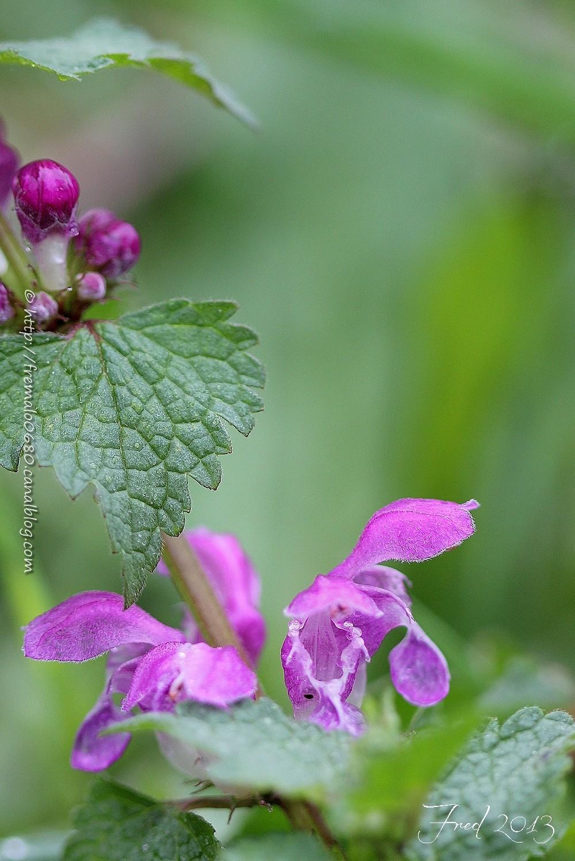 Lamium maculatum végétaux fleur lamier lamaiaceae