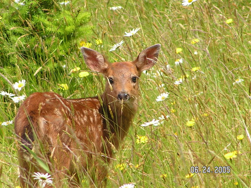 A young fawn in a field of wildflowers