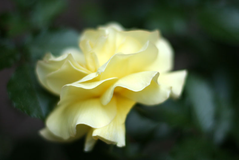 full bloom yellow rose in soft focus