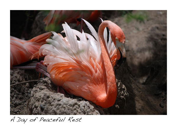 A picture of a flamingo