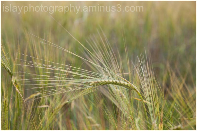 Ripening Barley 1