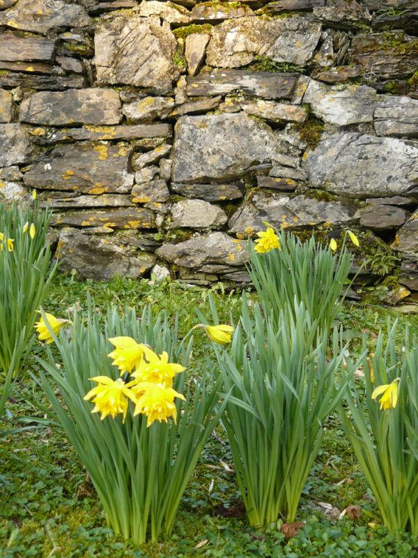 Dafodils Beside a Wall