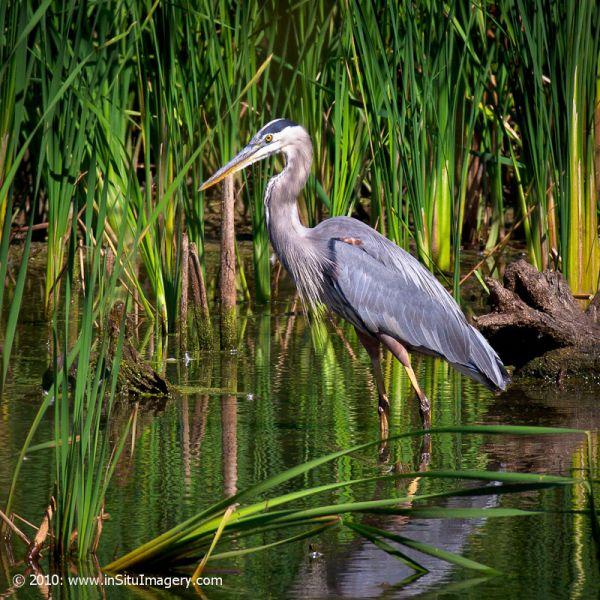 Wary Great Blue Heron
