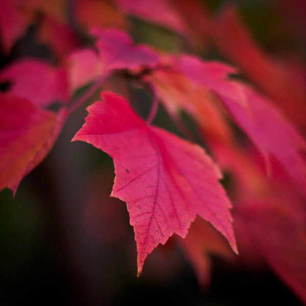 Fall Color: Maple Leaf