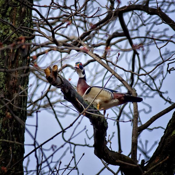 Wary Drake Wood Duck in a Tree Limb