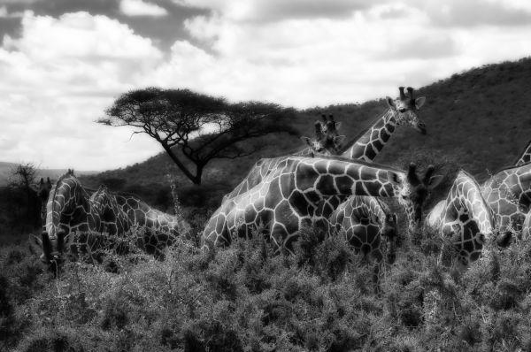 Magic Giraffes