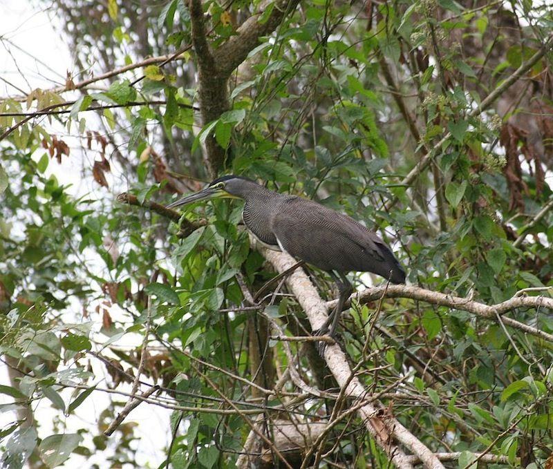 south american birds 3