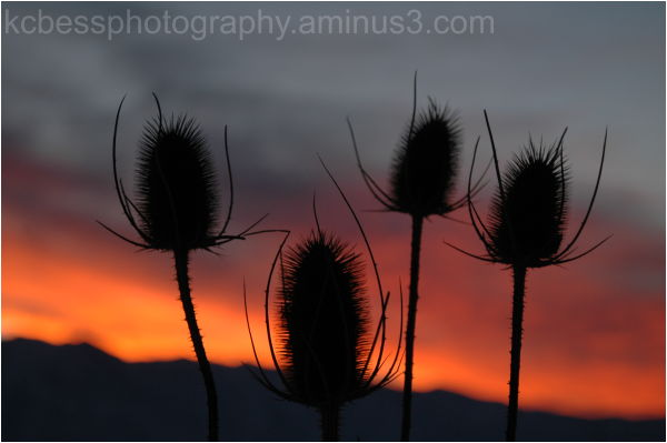 Sunset with teasle in forground