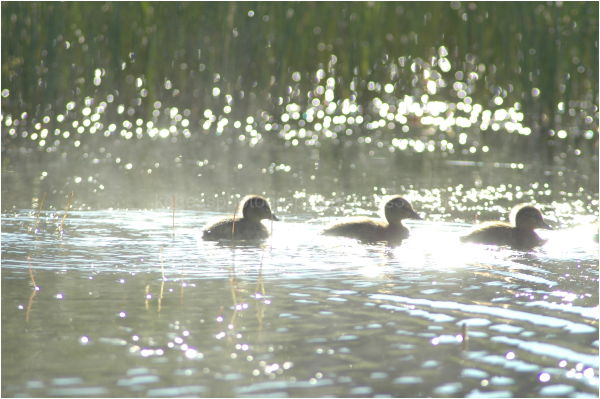 Ducklings in water silhouette