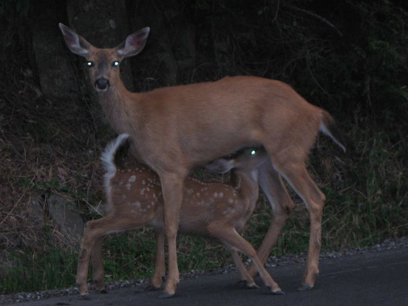 deer and her baby