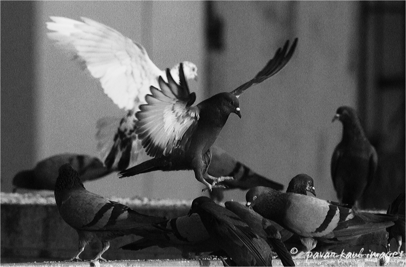 pigeons feeding