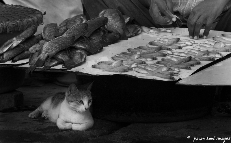 the fishmonger's cat