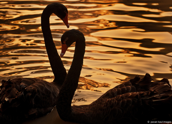 a pair of black swans in a pond at sunset