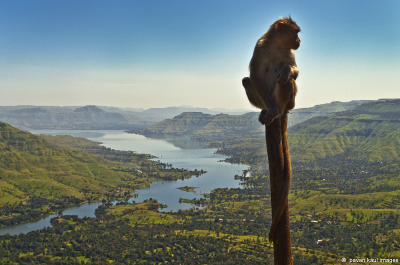 monkey in the wild on a pole
