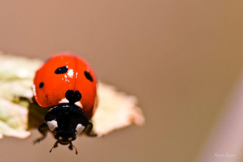 A ladybug eating
