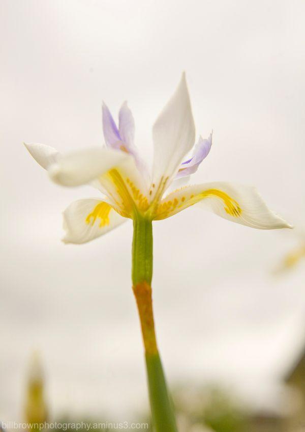Butterfly Iris III