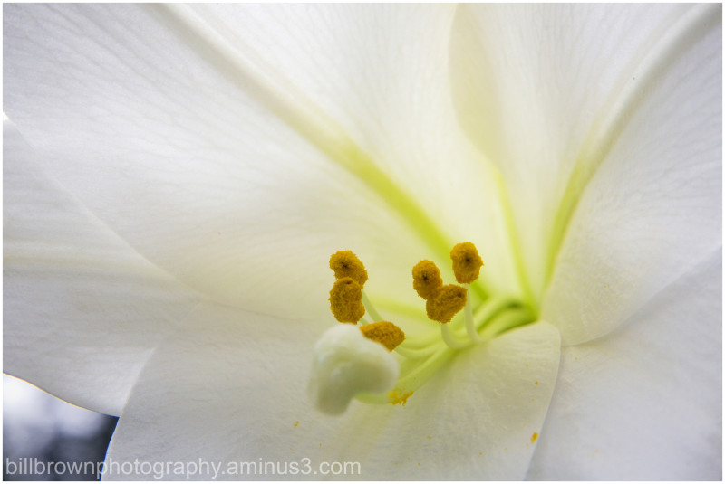 Easter Lily Close View