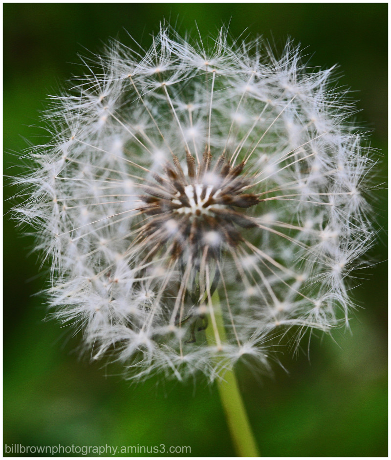 Dandelion – not just a weed!