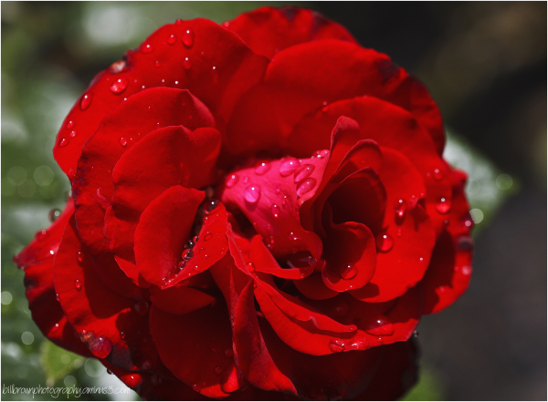 Rain Drops on Red Rose