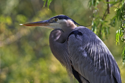Great Blue Heron 040212