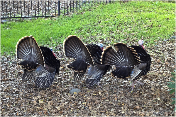 Wild Turkeys - Tail Flashing
