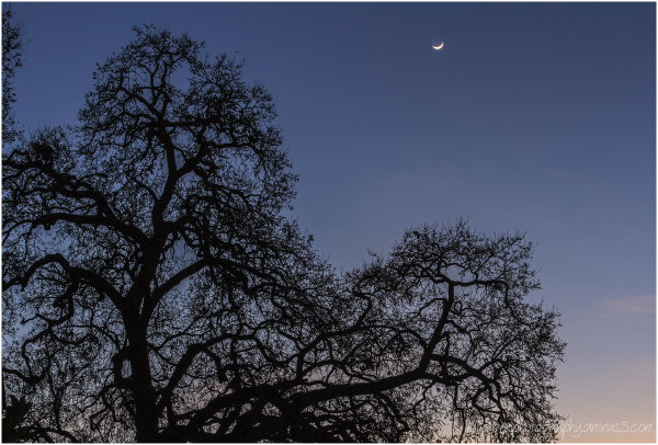 Oak Tree & Crescent Moon