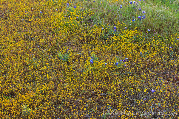 Table Mountain Wildflowers - 001