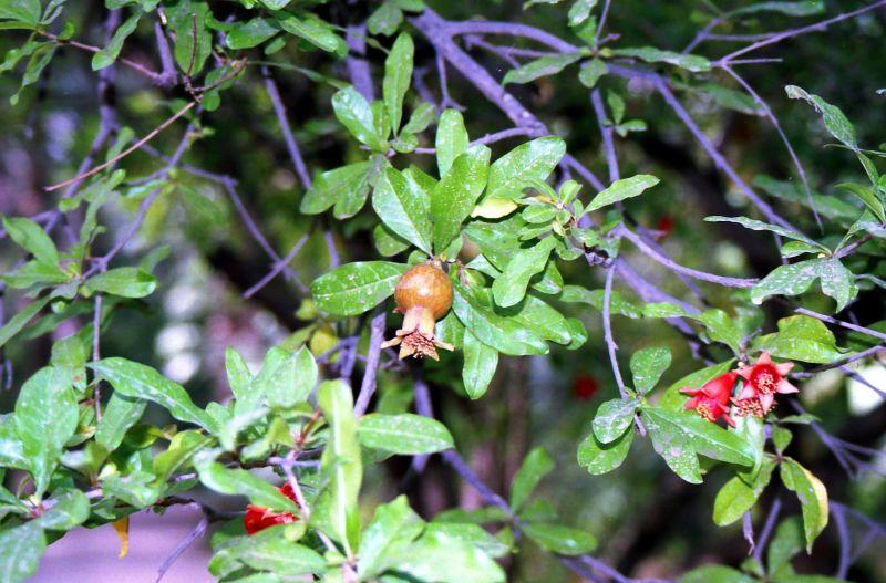 fleur de grenade plant nature photos eva 39 s photoblog. Black Bedroom Furniture Sets. Home Design Ideas