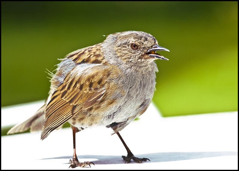 A hedge sparrow that flew in to a window