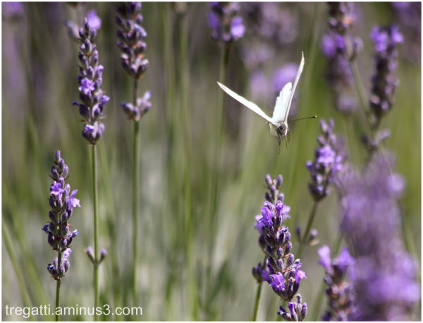 butterfly, lavender