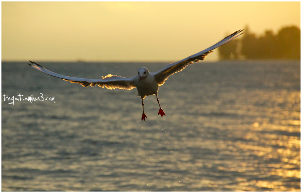 gull, lake, sunset