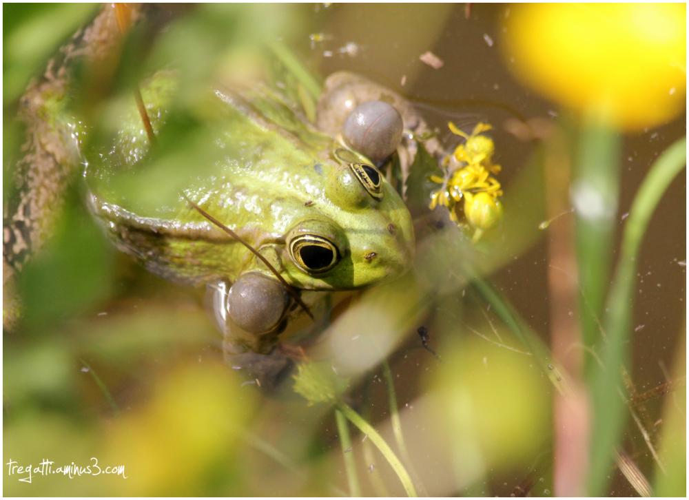 frog, pond