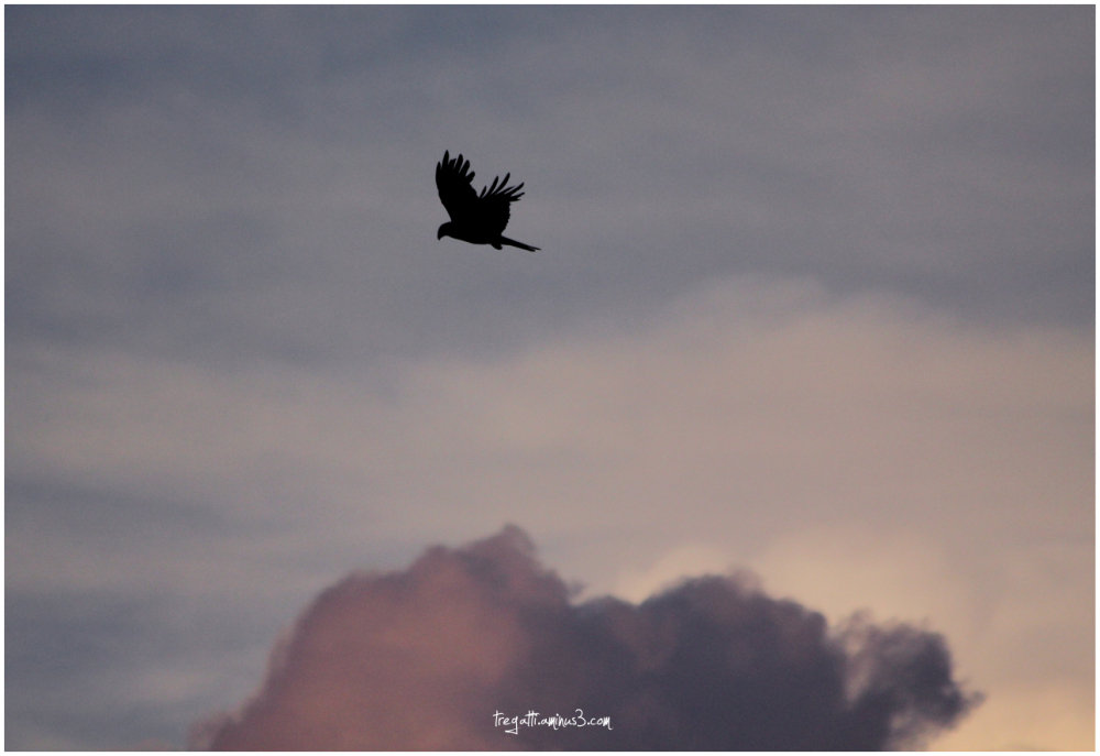 black kite, clouds