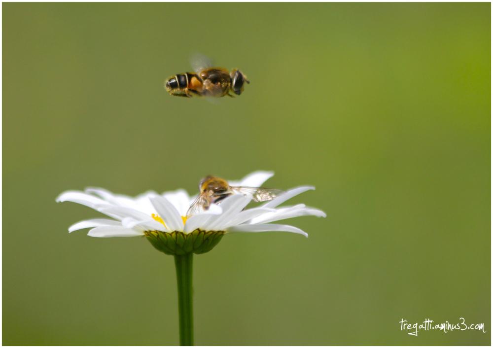 bees, daisy, garden