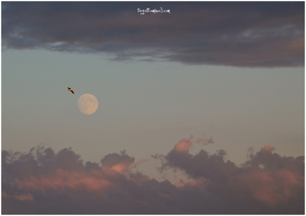 gull, moon, clouds, sky