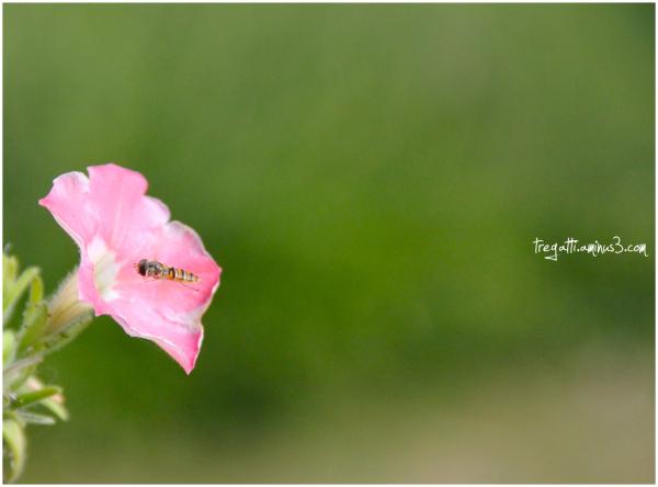 bee, petunia